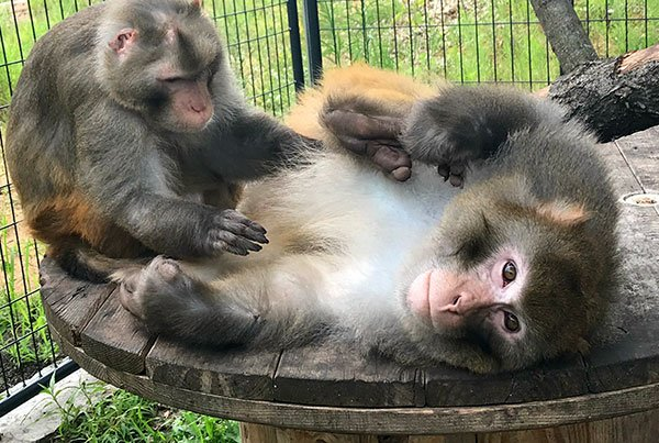 Monkey retirees at Primates Incorporated